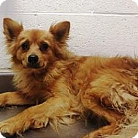 Adopt A Pet :: Rusty - Las Vegas, NV