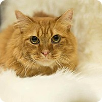 Maine Coon Cat for adoption in Valley Park, Missouri - Declawed Bently f/k/a Bingley