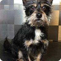 Adopt A Pet :: JoJo - McKinney, TX