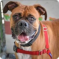 Adopt A Pet :: Champ - Vallejo, CA
