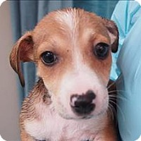 Adopt A Pet :: Chase - Portland, OR