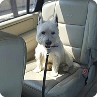 Westie, West Highland White Terrier Dog for adoption in Spanish Fork, Utah - Finn