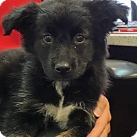Border Collie/Shepherd (Unknown Type) Mix Dog for adoption in Lutherville, Maryland - Patti