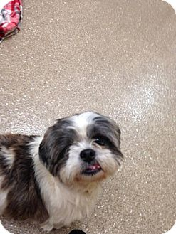Shih Tzu Dog for adoption in Holland, Michigan - One eyed Willy