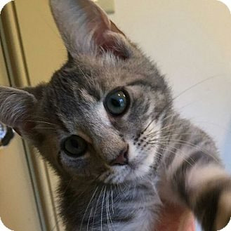Domestic Shorthair Kitten for adoption in Randolph, New Jersey - Elliott - loves cats, dogs