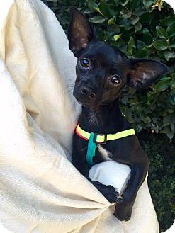 Chihuahua Dog for adoption in Los Angeles, California - Bonita