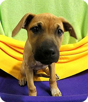 Terrier (Unknown Type, Medium) Mix Puppy for adoption in Detroit, Michigan - Nutmeg