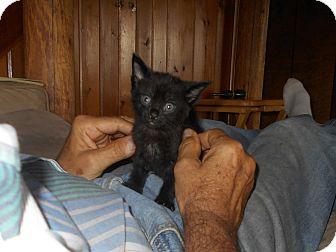 Siamese Kitten for adoption in Wellington, Ohio - Berlin
