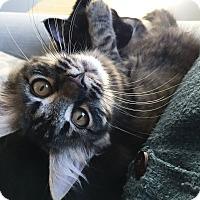 Adopt A Pet :: Darcy - St. Louis, MO