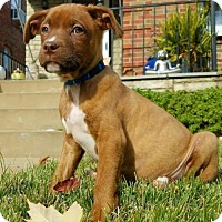 Pit Bull Terrier Puppy for adoption in St Louis, Missouri - HoHo
