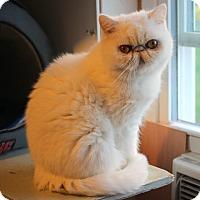 Himalayan Cat for adoption in Carlisle, Pennsylvania - Petra