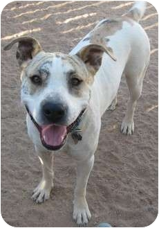 Staffordshire Bull Terrier Mix Dog for adoption in Golden Valley, Arizona - Jericho