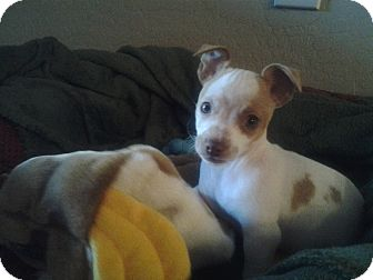 Jack Russell Terrier/Chihuahua Mix Puppy for adoption in Gilbert, Arizona - Ivan