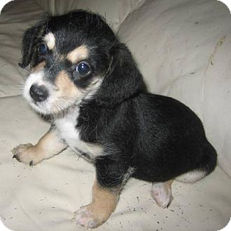 Jack Russell Terrier/Chihuahua Mix Puppy for adoption in Phoenix, Arizona - Trinket