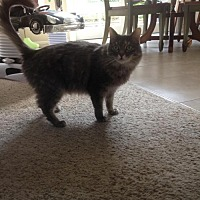 Domestic Mediumhair Cat for adoption in Mission Viejo, California - Gucci