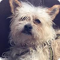 Adopt A Pet :: Scrappy - Long Beach, NY