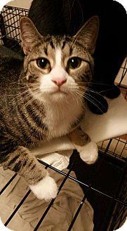 Domestic Shorthair Kitten for adoption in Rockford, Illinois - Daily