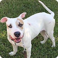 Adopt A Pet :: Honky Tonk - Homestead, FL