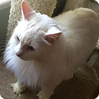 Domestic Longhair Cat for adoption in Devon, Pennsylvania - AF-Malibu