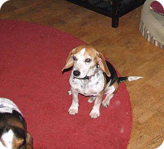 Beagle Dog for adoption in Frenchburg, Kentucky - Bailey