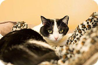 Domestic Shorthair Cat for adoption in Fall River, Massachusetts - Faith