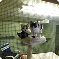 Domestic Shorthair Kitten for adoption in Quincy, California - Amy