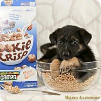Adopt A Pet :: Cookie Crisp - Little Rock, AR
