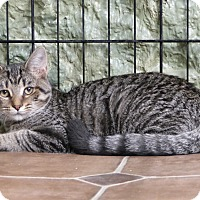Domestic Shorthair Cat for adoption in Marlinton, West Virginia - Buttercup