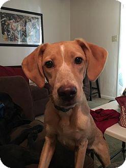 Labrador Retriever/Hound (Unknown Type) Mix Puppy for adoption in Cantonment, Florida - Emma