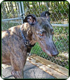 Greyhound Dog for adoption in Geneva, Ohio - Joey