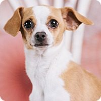 Adopt A Pet :: Bella - Portland, OR