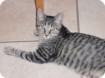 Domestic Shorthair Kitten for adoption in Carlisle, Pennsylvania - ParkerJr
