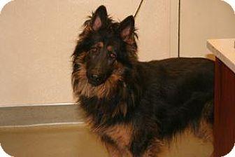 German Shepherd Dog Mix Dog for adoption in Wildomar, California - Harley