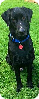 "Labrador Retriever Dog for adoption in Seattle, Washington - ""Duck"""
