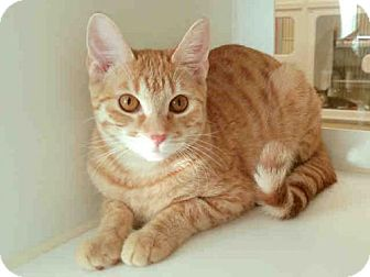 Domestic Shorthair Cat for adoption in Texas City, Texas - MAELEE