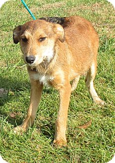 Cattle Dog Mix Puppy for adoption in Reeds Spring, Missouri - Fredrich