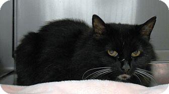 Domestic Mediumhair Cat for adoption in Redding, California - Cookie