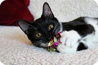 Domestic Shorthair Cat for adoption in jacksonville, Florida - I'M FRANKLIN! I IZ A LAPCAT!