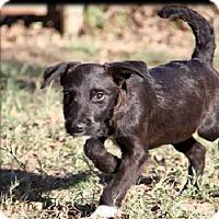 Adopt A Pet :: Mya pending adoption - Manchester, CT