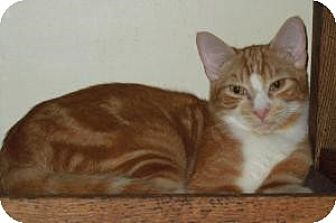 Domestic Shorthair Cat for adoption in Mission Viejo, California - Gator
