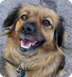 Tibetan Spaniel Mix Dog for adoption in Thousand Oaks, California - Sophie Jean