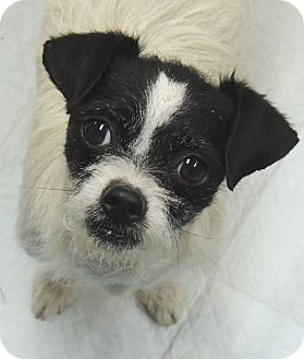 boston terrier jack russell jaimie adopted dog la habra heights ca boston 5963