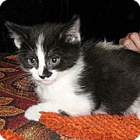 Adopt A Pet :: Felis - Dallas, TX