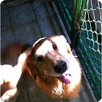 Adopt A Pet :: Brewski - Denver, CO