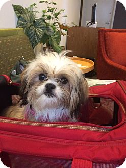 shih tzu rescue nyc lilah adopted puppy new york ny shih tzu mix 6356