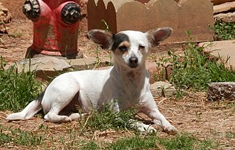 Chihuahua/Rat Terrier Mix Dog for adoption in Clarksville, Tennessee - Maya