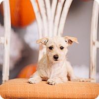 Adopt A Pet :: Lexi - Portland, OR