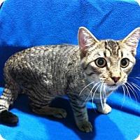 Adopt A Pet :: Tom - Watkinsville, GA