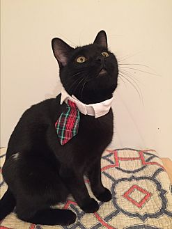 Domestic Shorthair Cat for adoption in Bryn Mawr, Pennsylvania - OZZY/dog alike/smart, curious