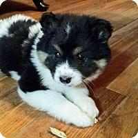 Adopt A Pet :: Ariel - Hamburg, PA